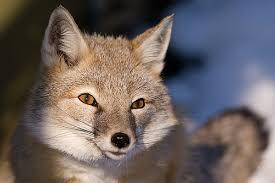 small-fox